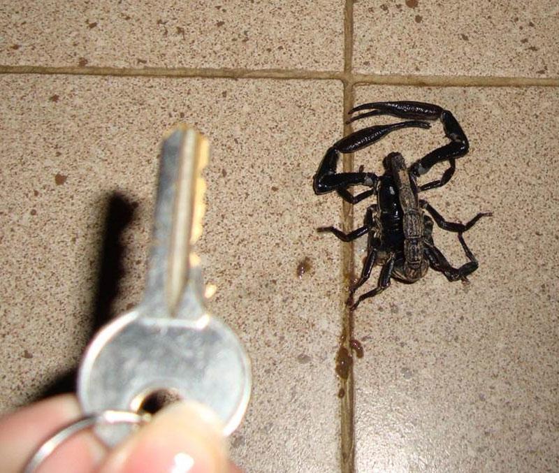 scorpion-from-Hallgerd